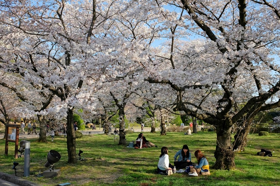 Kyoto's Finest: Cherry Blossom Season - EYExplore - Having a picnic under the cherry blossoms at the Kyoto Botanical Gardens.