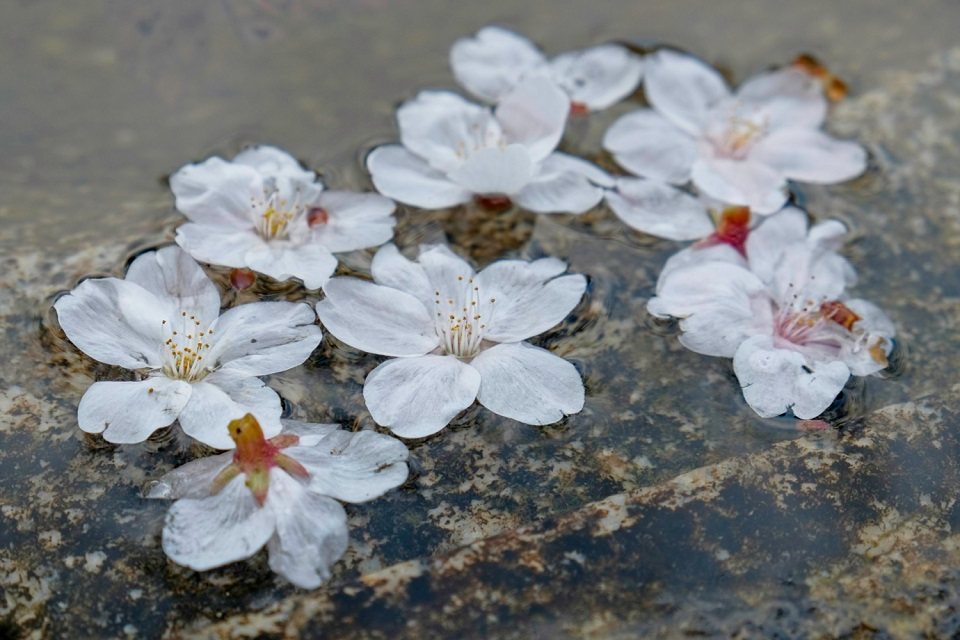 Kyoto's Finest: Cherry Blossom Season - EYExplore - Cherry blossoms in a traditional water basin