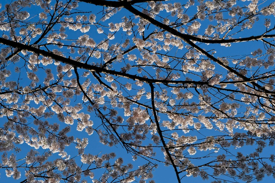 Kyoto's Finest: Cherry Blossom Season - EYExplore - Cherry blossoms in late afternoon light.