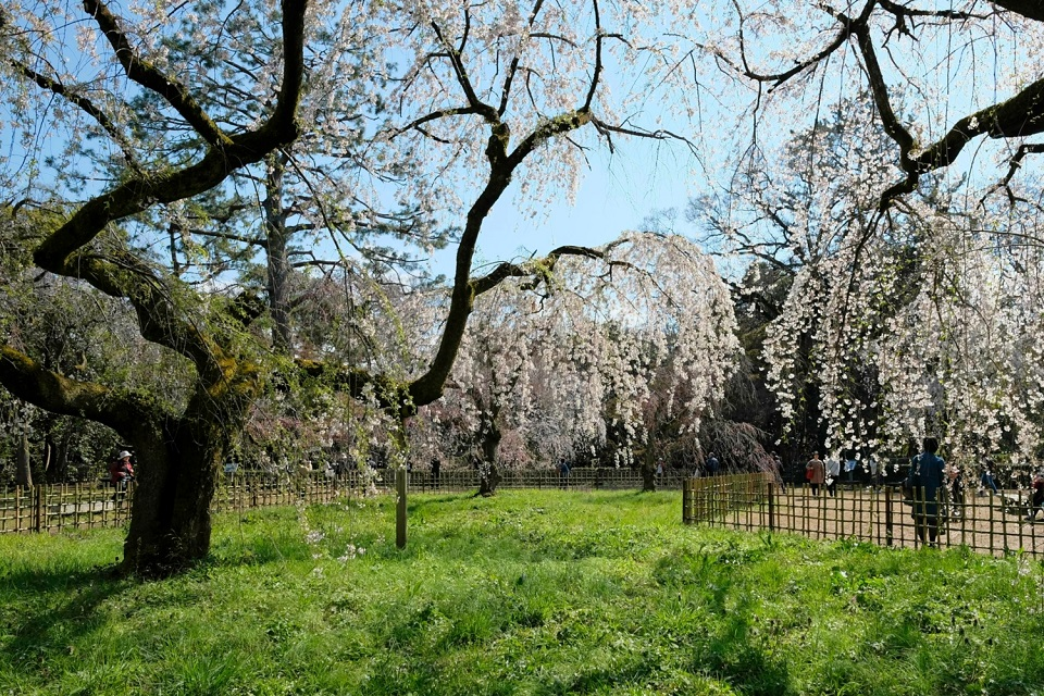 Kyoto's Finest: Cherry Blossom Season - EYExplore - Weeping Cherry Blossoms on the north side of the Kyoto Imperial Palace Park.
