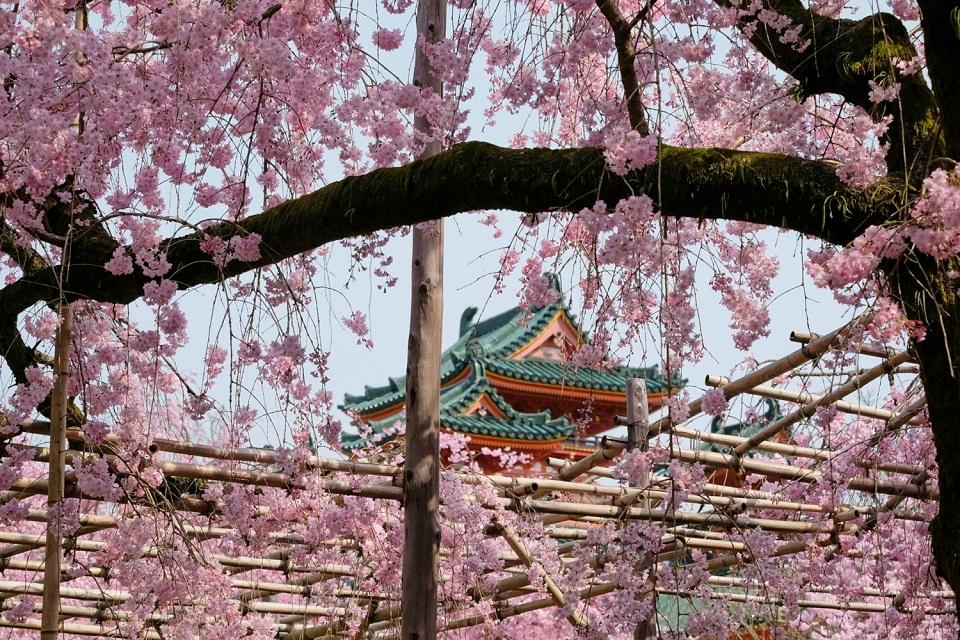 Kyoto's Finest: Cherry Blossom Season - EYExplore - The garden at Heian Jingu Shrine has my kinds of cherry trees.