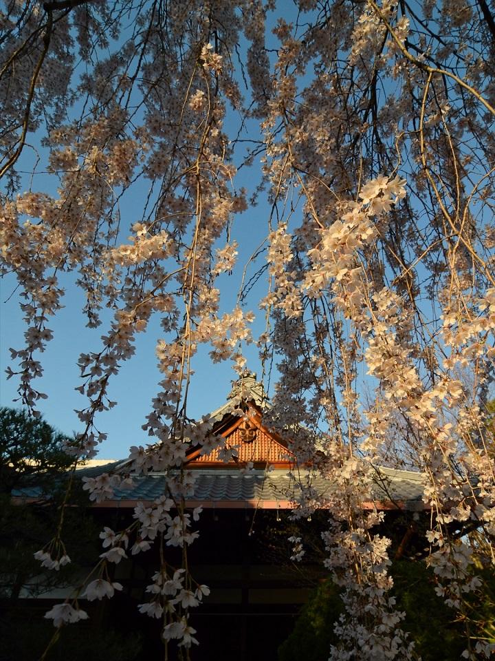 Kyoto's Finest: Cherry Blossom Season - EYExplore - he weeping cherry tree at Honmonji Temple.