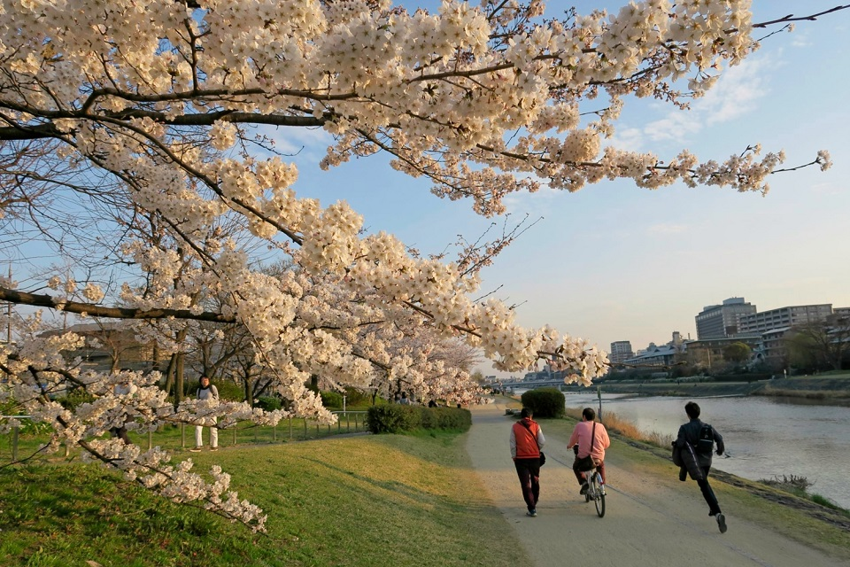 Kyoto's Finest: Cherry Blossom Season - EYExplore - Cherry trees line almost the entire length of the Kamo-gawa River in Kyoto City.