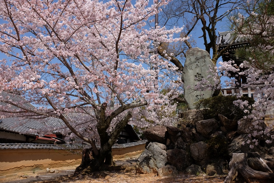 Kyoto's Finest: Cherry Blossom Season - EYExplore - Cherry trees next to a memorial stone at Kurodani. The film samurai dramas long that weather, brown wall in the background.