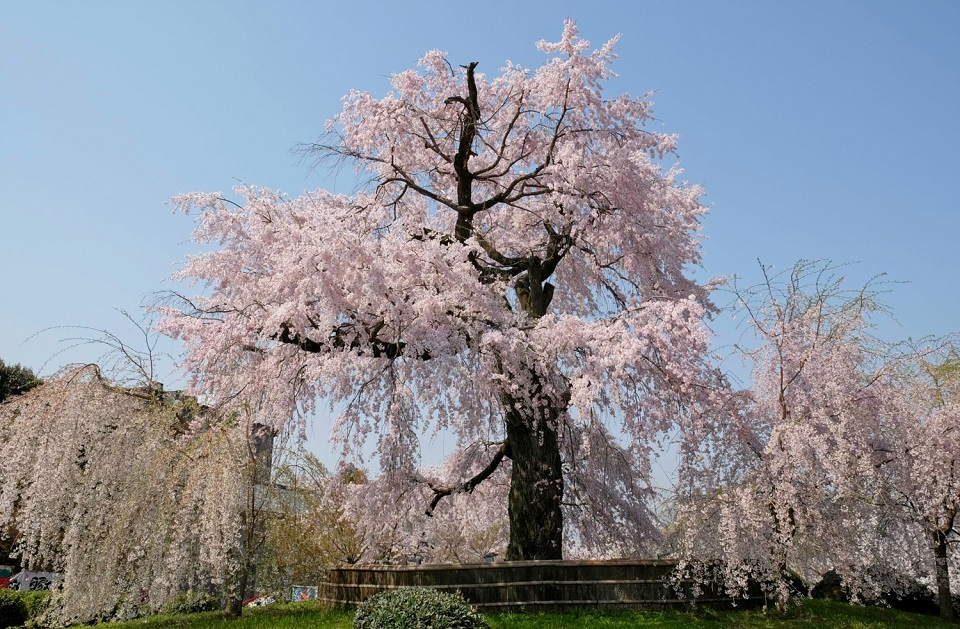 Kyoto's Finest: Cherry Blossom Season - EYExplore - The famous weeping cherry tree at Maruyama Park.