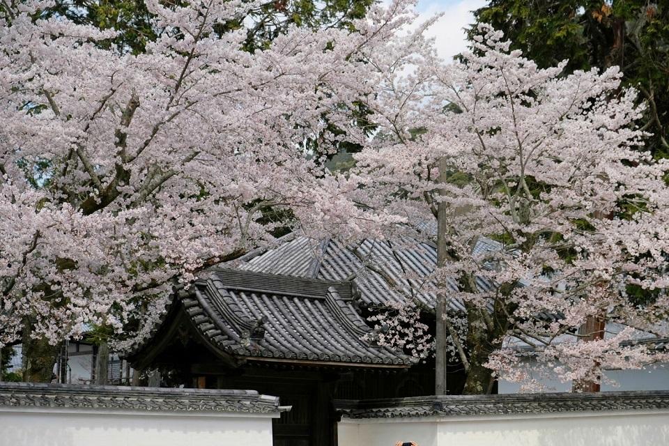 Kyoto's Finest: Cherry Blossom Season - EYExplore - Cherry blossoms in full bloom at Nanzenji Temple.