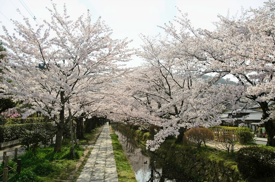 Kyoto's Finest: Cherry Blossom Season - EYExplore - Cherry trees along the Philosopher's Path at 8am.