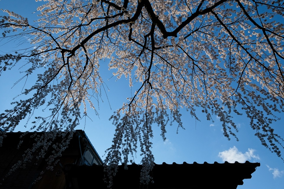 Kyoto's Finest: Cherry Blossom Season - EYExplore - Cherry blossoms as the sun sets along Sanenzaka street. There can be great photo opportunities in the Southern Higashiyama neighborhood if you are willing to navigate the crowds.