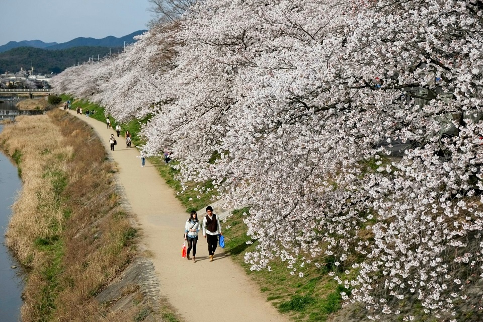 Kyoto's Finest: Cherry Blossom Season - EYExplore - Cherry trees in full bloom along the Takano-gawa River north of Demachiyanagi.