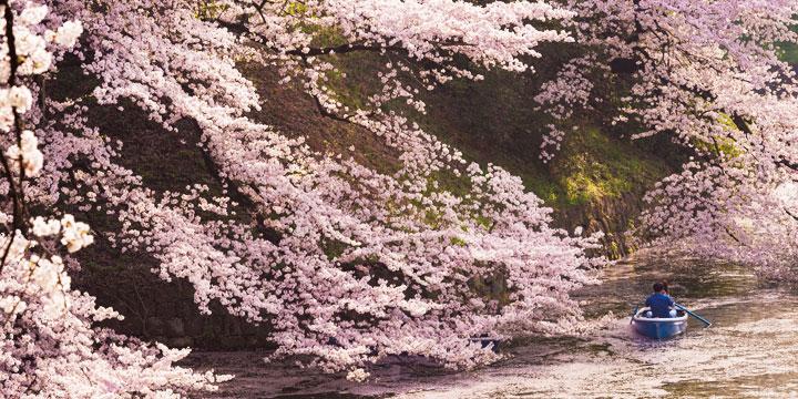 Cherry trees in full boom in Tokyo