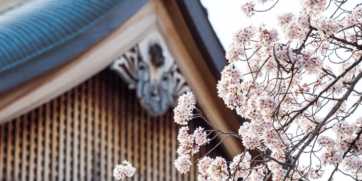 Sakura blossoms set against a shinto shrine during spring in Tokyo