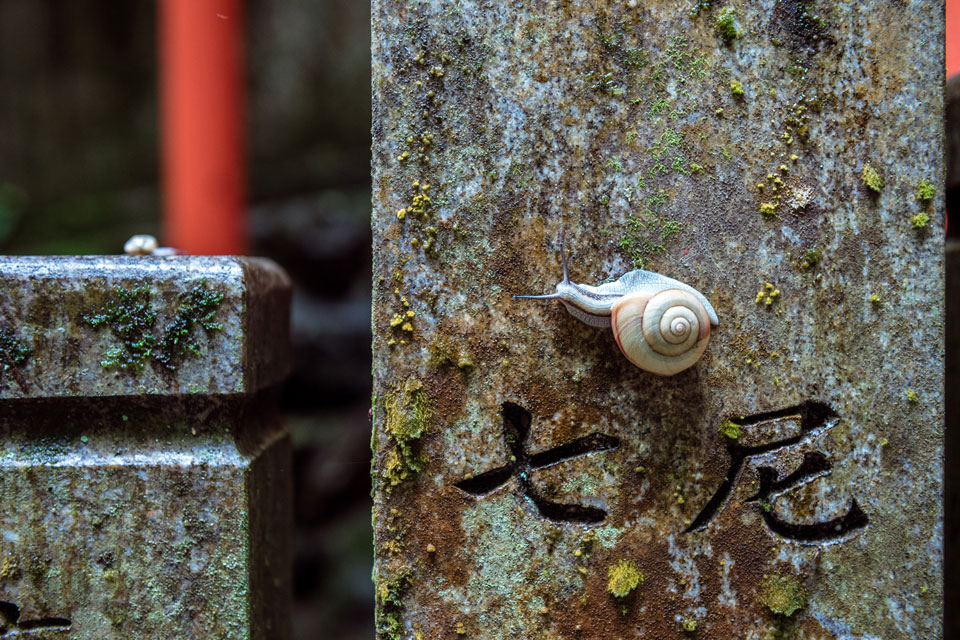 A snail on a moss covered carved stone at Tanukidani.