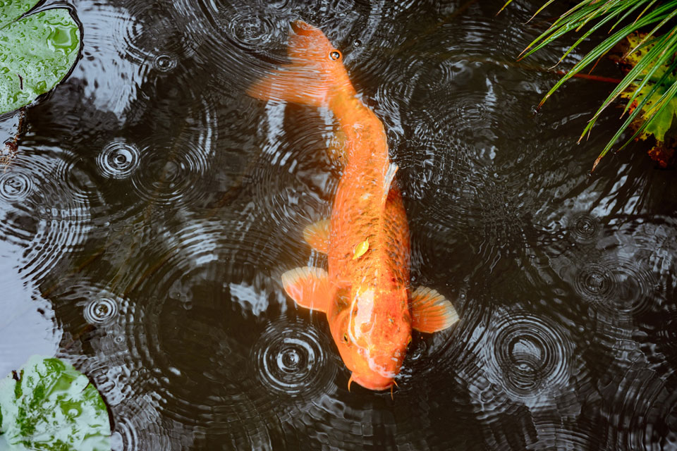A golden koi below the ripples in the pond at Tenju-an.